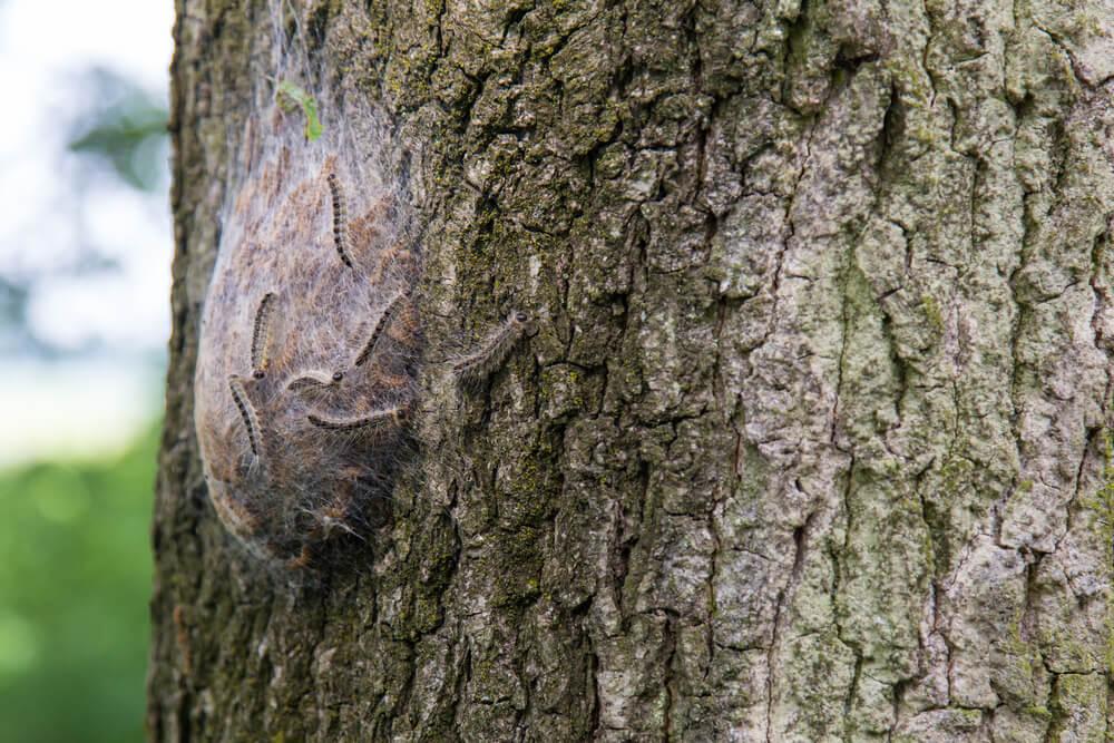 nest eikenprocessierups